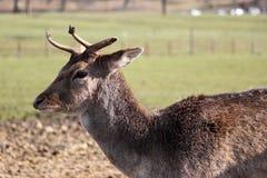 Os cervos de Fallow fecham-se acima Imagens de Stock Royalty Free