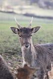 Os cervos de Fallow fecham-se acima Imagens de Stock