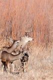 Os cervos de mula buck e fazem fotos de stock