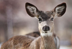 Os cervos de mula fecham-se acima de Genoa recolhido, Nevada foto de stock royalty free