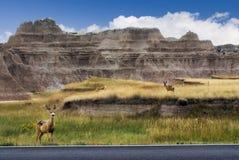 Os cervos de mula na estrada tomam partido no ermo parque nacional, South Dakota, EUA Imagem de Stock