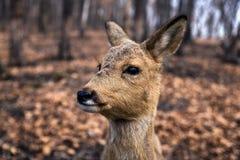 Os cervos de ovas fecham-se acima do retrato na floresta na estação de mola Imagens de Stock