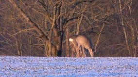 Os cervos de ovas que comem a colza do wintering brotam no campo da terra vídeos de arquivo