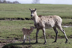 Os cervos de Pere David, davidianus do Elaphurus imagem de stock