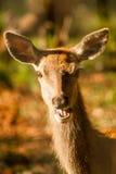 Os cervos de riso Fotos de Stock