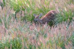 Os cervos de Sika Imagens de Stock