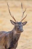 Os cervos de Sika fecham-se acima Foto de Stock