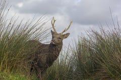 Os cervos de Sika fecham-se acima do fundo do witn do retrato Fotografia de Stock