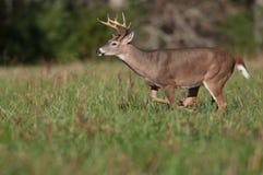 Os cervos de Whitetail buck o corredor através do prado fotos de stock