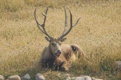 Os cervos do milu são em repouso Foto de Stock