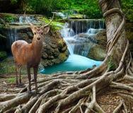 Os cervos do Sambar que estão ao lado da árvore bayan enraízam na frente do sto do cal Foto de Stock Royalty Free