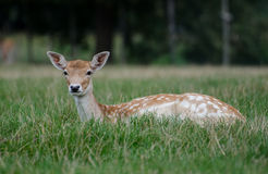 Os cervos do sika (Cervus nipônico) na grama Foto de Stock Royalty Free