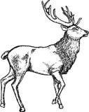 Os cervos entregam tirado Fotografia de Stock Royalty Free