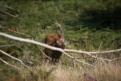 Os cervos esplêndidos que riscam com um ramo na floresta em Richmond par Foto de Stock
