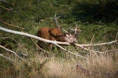 Os cervos esplêndidos que riscam com um ramo na floresta em Richmond par Imagens de Stock