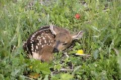 Os cervos Fawn esconder foto de stock royalty free