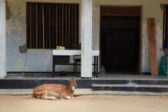 Os cervos fawn na cidade na frente de uma construção Fotos de Stock Royalty Free