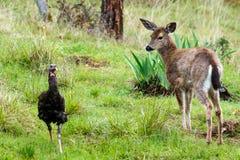 Os cervos fawn a vista de um peru fotografia de stock royalty free