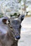 Os cervos fecham-se acima da cara Fotografia de Stock