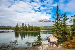 Os cervos grandes com chifres coms muitos ramos Foto de Stock