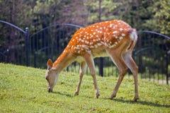 Os cervos manchados Imagens de Stock Royalty Free