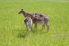 Os cervos manchados pastam no campo Mola possa Dia ensolarado Animais selvagens Hoofed e horned foto de stock