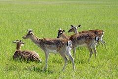 Os cervos manchados pastam no campo Mola possa Dia ensolarado Animais selvagens Hoofed e horned imagens de stock