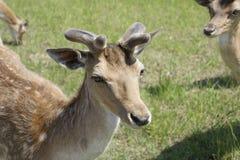 Os cervos manchados pastam no campo Mola possa Dia ensolarado Animais selvagens Hoofed e horned imagens de stock royalty free
