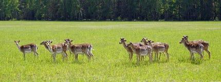 Os cervos manchados pastam no campo Mola possa Dia ensolarado Animais selvagens Hoofed e horned fotografia de stock royalty free