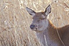 Os cervos naturais fecham-se Imagem de Stock