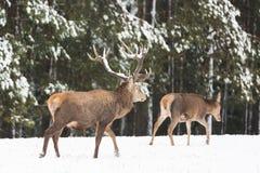 Os cervos nobres adultos com os chifres bonitos grandes com neve perto dos animais selvagens europeus da floresta do inverno ajar foto de stock royalty free