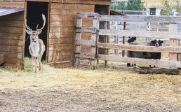 Os cervos sairam da casa e andaram Atrás dos cercos dos carneiros imagens de stock
