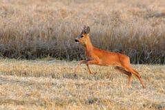 Os cervos saltam no campo Imagem de Stock
