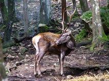 Os cervos sardinian muito raros Fotos de Stock