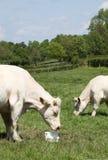 Os charolês acobardam comer o gado lambem Fotografia de Stock Royalty Free