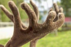 Os chifres dos cervos cobertos com a pele macia foto de stock royalty free
