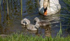 Os cisnes novos dias de idade nadam primeiramente fotografia de stock royalty free