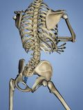 Os coccygis, 3D Model stock foto's