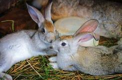 Os coelhos cinzentos são prendidos imagens de stock royalty free