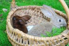 Os coelhos estão sentando-se na cesta Imagem de Stock