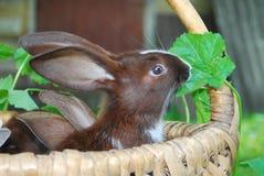 Os coelhos estão sentando-se na cesta Fotos de Stock