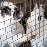 Os coelhos na gaiola comem a grama A lebre olha através da grelha Frame quadrado fotografia de stock