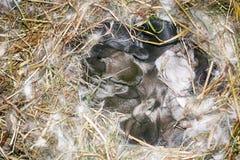 os coelhos pequenos aninham-se Foto de Stock Royalty Free
