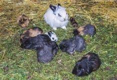 Os coelhos são de assento e comendo a grama verde fotos de stock royalty free