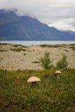 Os cogumelos alaranjados do boleto do tampão crescem na praia, Noruega Foto de Stock Royalty Free