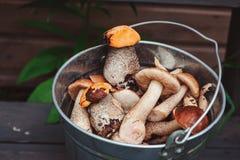 Os cogumelos alaranjados e marrons comestíveis selvagens do boleto do tampão podem dentro Fotos de Stock Royalty Free