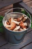Os cogumelos alaranjados e marrons comestíveis selvagens frescos do boleto do tampão recolheram podem dentro Imagens de Stock