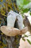 Os cogumelos brancos são secados em um ramo em uma árvore Fotos de Stock