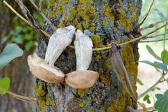 Os cogumelos brancos são secados em um ramo em uma árvore Cogumelos recentemente escolhidos Imagem de Stock Royalty Free