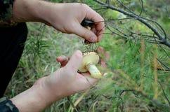 Os cogumelos comestíveis nas mãos do homem fotografia de stock